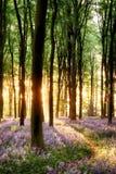 Jacinthes des bois dans la lumière de lever de soleil Photos libres de droits