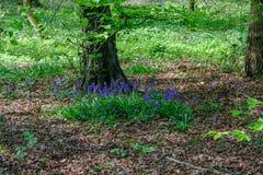 Jacinthes des bois dans le bois dans le printemps Photo stock