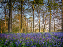 Jacinthes des bois dans les bois Images libres de droits