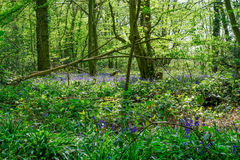 Jacinthes des bois dans les bois d'Essex au printemps Photographie stock libre de droits