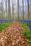 Jacinthes des bois de Hallerbos Belgique Image libre de droits