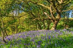 Jacinthes des bois en Newton Wood Images stock
