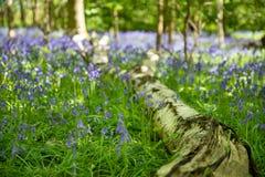 Jacinthes des bois en pleine floraison dans les bois Image libre de droits