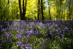 Jacinthes des bois en pleine floraison dans les bois Image stock