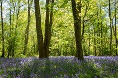 Jacinthes des bois en pleine floraison dans les bois Photos libres de droits