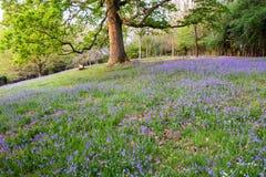 Jacinthes des bois et arbres mûrs d'une région boisée ouverte au printemps Image stock