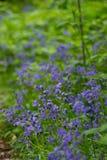 Jacinthes des bois et ressort dans des collines et des jardins de Surrey Photo libre de droits