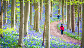 Jacinthes des bois forêt, Belgique de Hallerbos Photographie stock