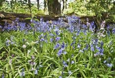Jacinthes des bois, non-scripta de Hyacinthoides, s'élevant sauvage dans le Northumberland, R-U photo stock