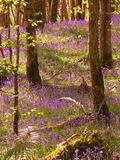 Jacinthes des bois pendant l'après-midi Images stock