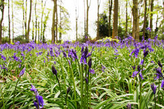 Jacinthes des bois s'élevant sur un plancher anglais de région boisée photographie stock libre de droits