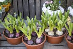 Jacinthes et ranunculus dans des pots à vendre Photos stock