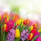 Jacinthes et tulipes photos libres de droits