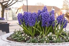 Jacinthes fleurissant sur le fond Image stock
