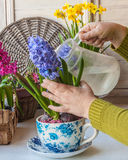 Jacinthes fleurissantes de arrosage de main femelle dans une pot-tasse de vintage photographie stock