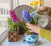 Jacinthes fleurissantes de arrosage de main femelle dans une pot-tasse de vintage images stock
