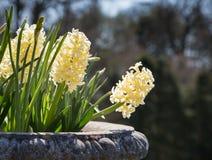 Jacinthes jaune pâle Photos libres de droits