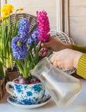 Jacinthes mises en pot de arrosage de main femelle dans la vintage-tasse Photographie stock libre de droits
