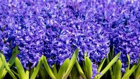 Jacinthes pourpres, jacinthes de floraison d'abondance Photos stock