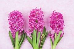 Jacinthes roses sur le fond rose Image stock