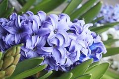 Jacinto azul Foto de archivo