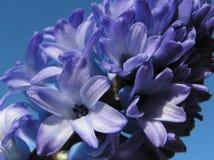 Jacinto azul fotografía de archivo libre de regalías