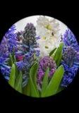 Jacinto azul Fotos de archivo libres de regalías