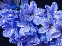 Jacinto azul con gotas fotos de archivo