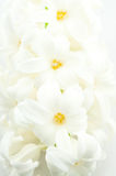 Jacinto blanco hermoso Fotografía de archivo