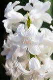 Jacinto blanco (orientale de Hyacinthus) Imagen de archivo libre de regalías