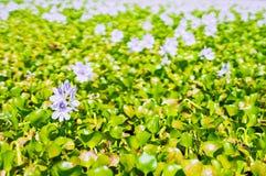 Jacinto de água de florescência Fotos de Stock Royalty Free