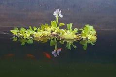 Jacinto de agua - υάκινθος νερού Στοκ Φωτογραφίες