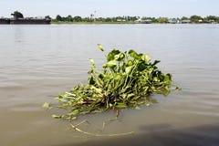 Jacinto de agua de flotación libre foto de archivo