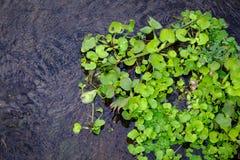 jacinto de agua en el río Foto de archivo libre de regalías