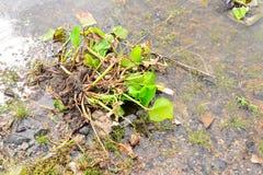 jacinto de agua en el río Fotos de archivo