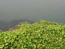 Jacinto de agua en un río Foto de archivo libre de regalías