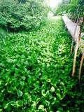 Jacinto de agua verde Foto de archivo