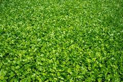 Jacinto de agua verde fresco, hojas, con la luz del sol para el fondo foto de archivo