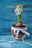 Jacinto de florescência branco Fotos de Stock