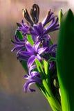 Jacinto de florescência roxo Fotos de Stock Royalty Free