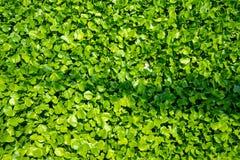 Jacinto de ?gua verde fresco, folhas, com luz solar para o fundo foto de stock