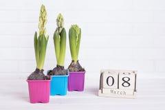 Jacinto de três flores em um potenciômetro Foto de Stock