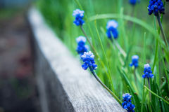 Jacinto de uva azul do armeniacum do Muscari que floresce no jardim Imagem de Stock Royalty Free