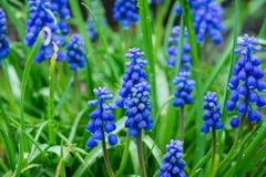 Jacinto de uva azul do armeniacum do Muscari que floresce no jardim Imagens de Stock Royalty Free