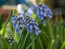 Jacinto de uva azul floreciente hermoso imagen de archivo libre de regalías
