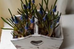 Jacinto de uva azul, flores do armeniacum do Muscari na caixa branca do vintage imagem de stock royalty free