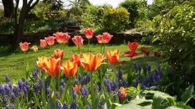 Jacinto de uva comum, Muscari e tulipas video estoque