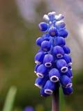 Jacinto de uva (racemosum del Muscari) Fotos de archivo