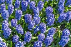 Jacinto del fondo que florece en pote grande Macro del prado p?rpura de la flor del jacinto Muchas flores violetas del jacinto en imágenes de archivo libres de regalías