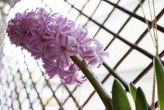 Jacinto in der Blüte Lizenzfreies Stockbild